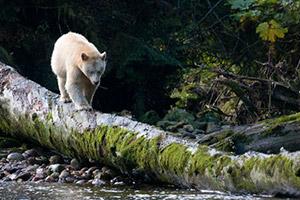 Spirit Bear Tours