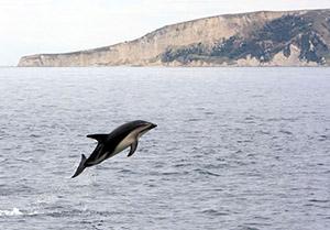 Dusky dolphin leaping