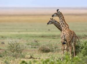 giraffe-manyara20