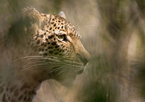 Leopard in dappled light