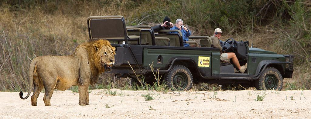 Lion at Mala Mala
