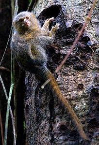 Pygmy marmorset