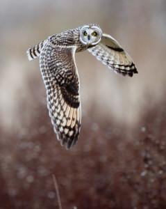 owlshorteared122111skagit72