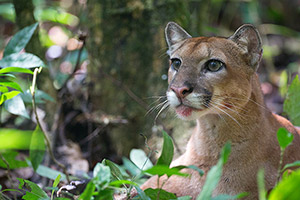 Puma in Costa Rica