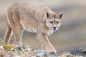 Wild Pumas of Patagonia Tour