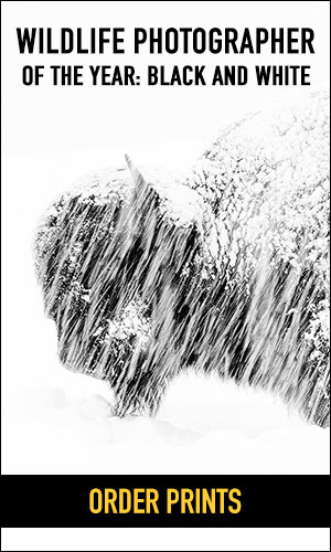 Order prints of the bison in snow