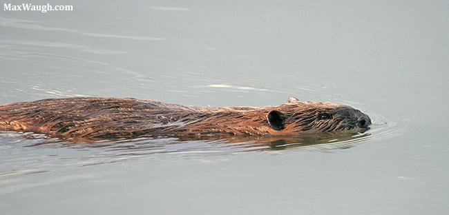 Hairy beaver gallery