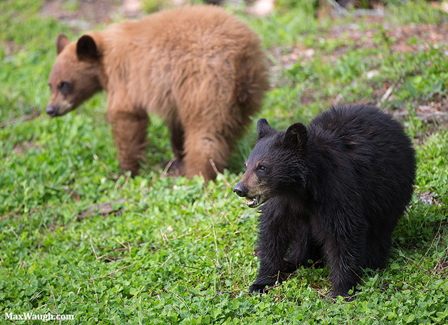 Yearling black bear cubs