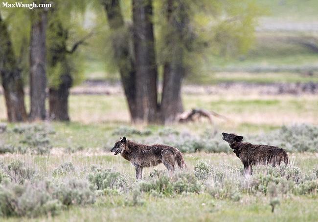 Lamar Canyon Pack wolves