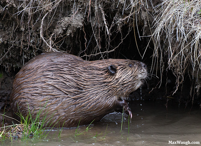 Yellowstone beaver