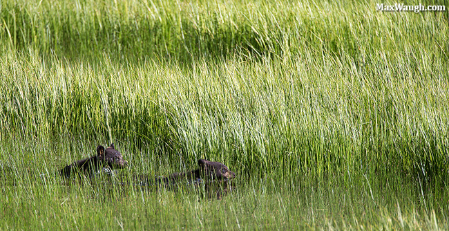 Swimming black bear cubs