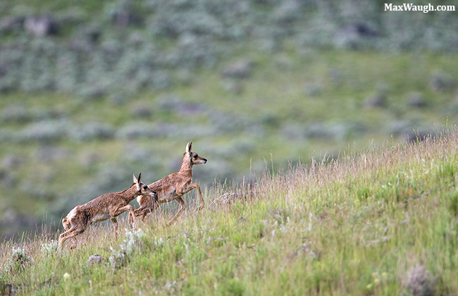 Pronghorn fawns
