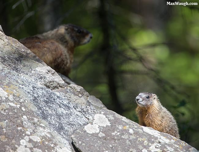 Marmot family