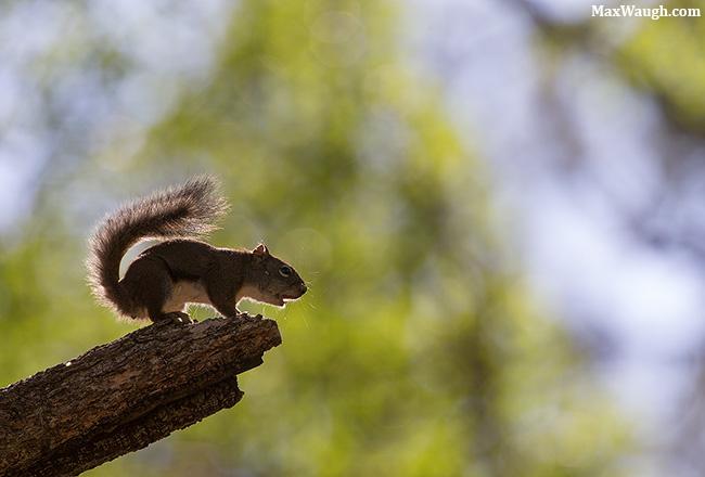 Red squirrel alarm call