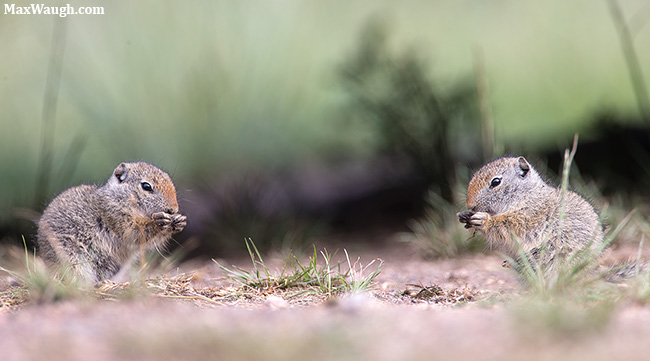Baby Uinta ground squirrels