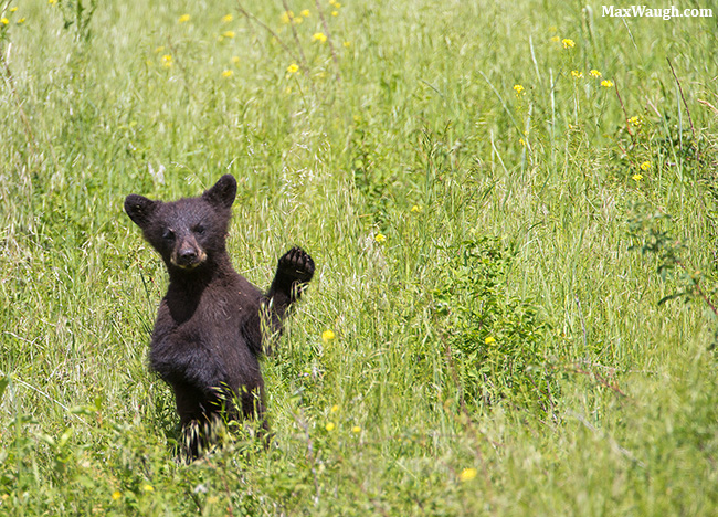 Black bear cub waving