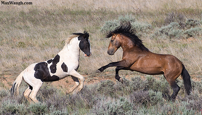 Wild horses dueling