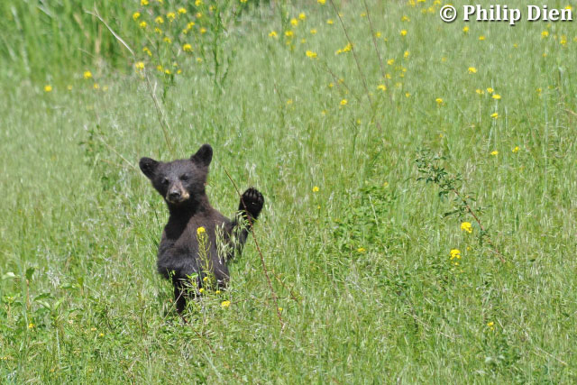 Black bear cub by Phil Dien