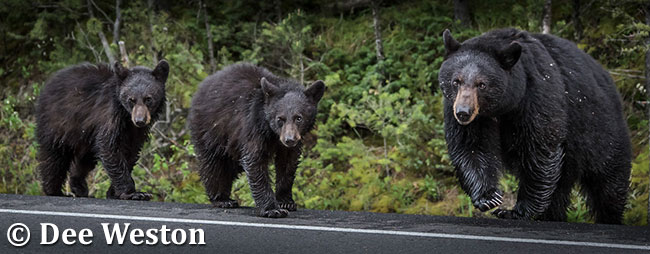 Black bears by Dee Weston