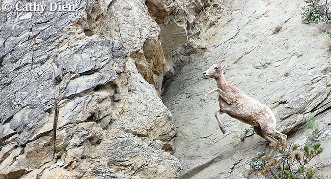 Bighorn Sheep by Cathy Dien