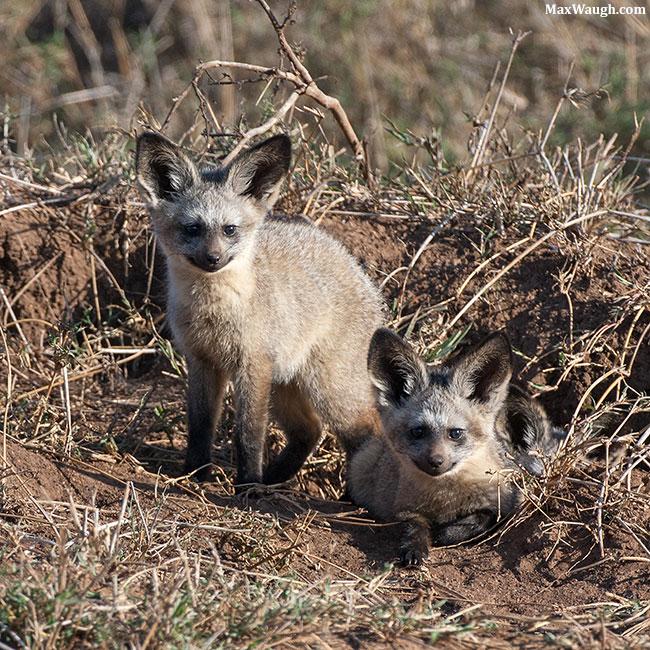 Bat-eared fox kits