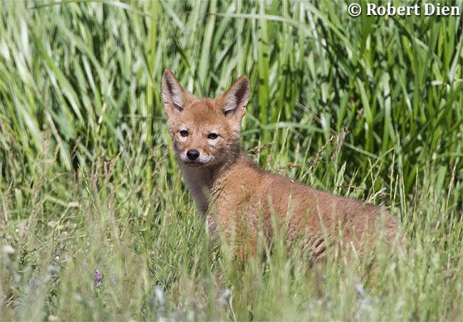 Coyote Pup by Robert Dien