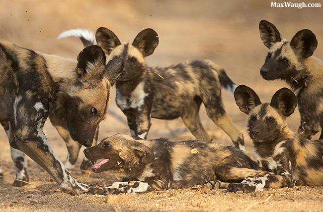 African wild dogs at MalaMala