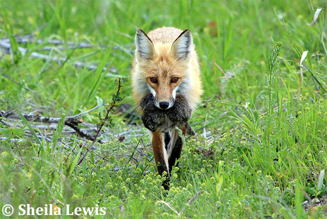 Red Fox with Prey by Sheila Lewis