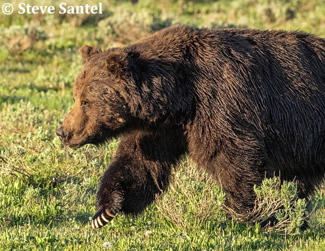 Grizzly Bear by Steve Santel