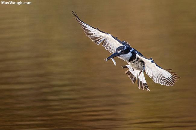 Pied Kingfisher at MalaMala