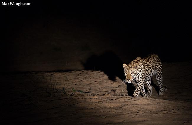 Leopard at Night at MalaMala