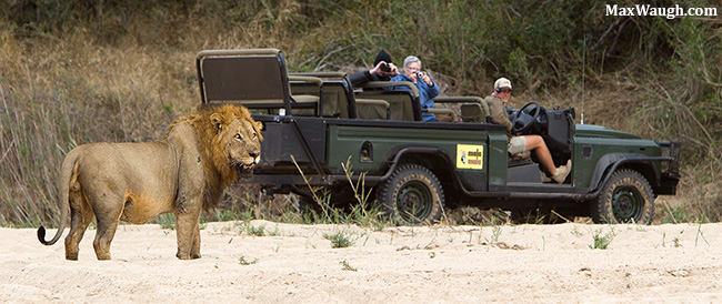 Lion at MalaMala
