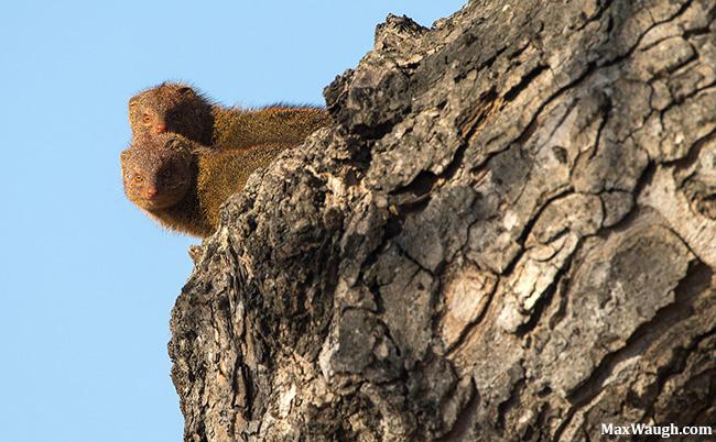 Slender Mongooses