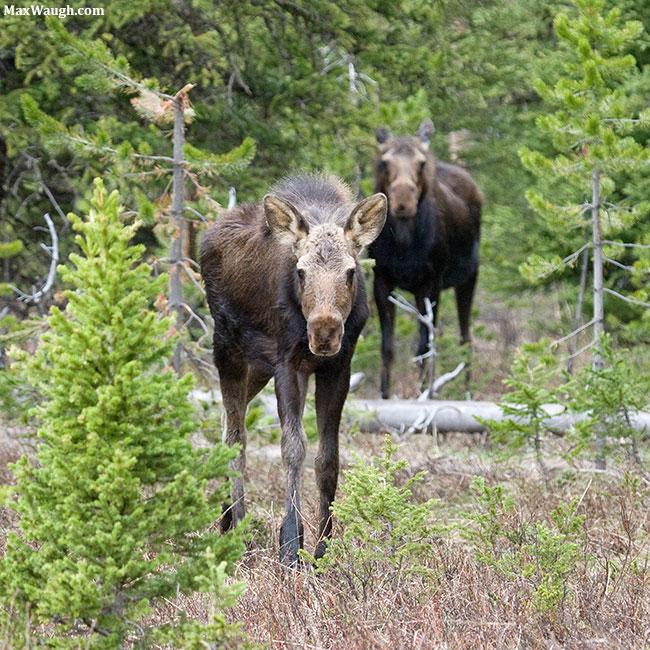2016 Moose calendar