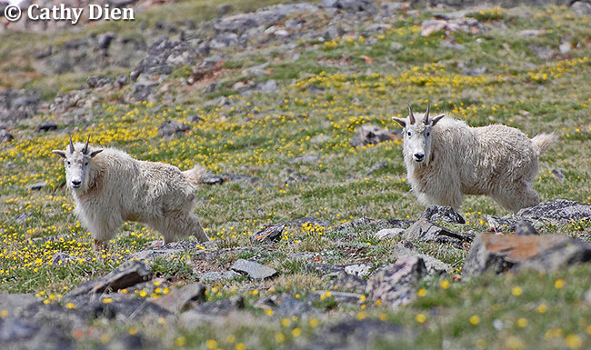 Mountain Goats by Cathy Dien