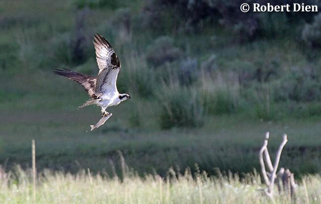 Osprey with catch by Robert Dien