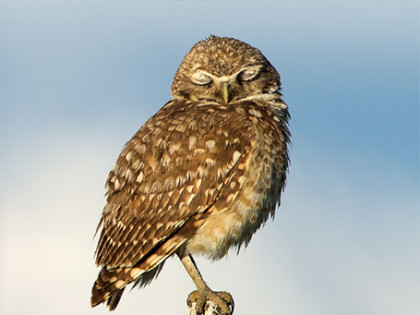 2016 Calendars: Owls!
