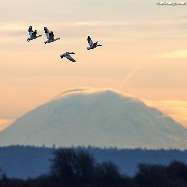 Snow Geese and Mt. Rainier