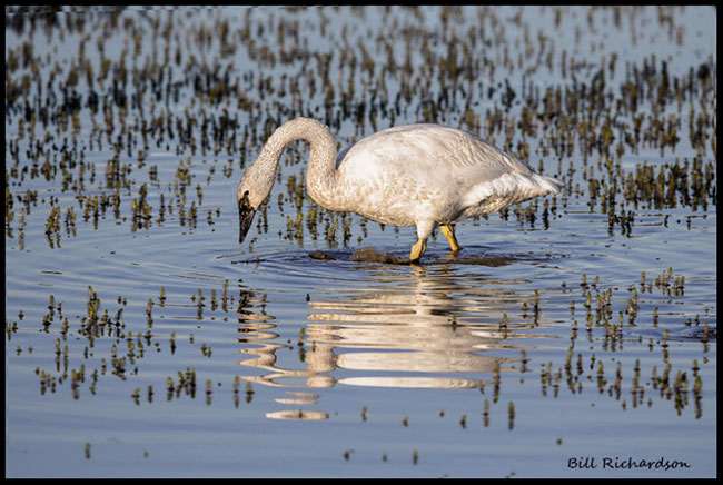 Trumpeter Swan by Bill Richardson