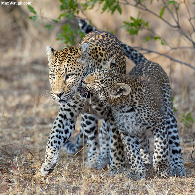 African Leopard and Cub
