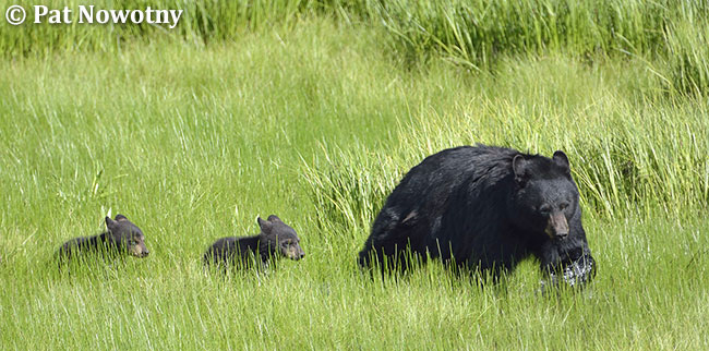 Black bear with cubs by Pat Nowotny