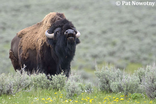 Bison by Pat Nowotny