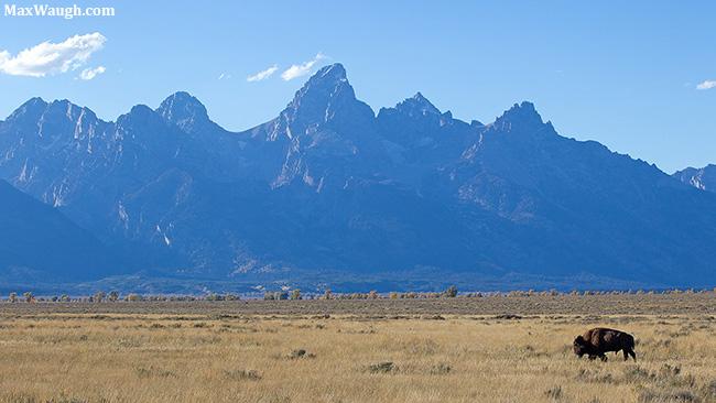 Bison and Grand Tetons