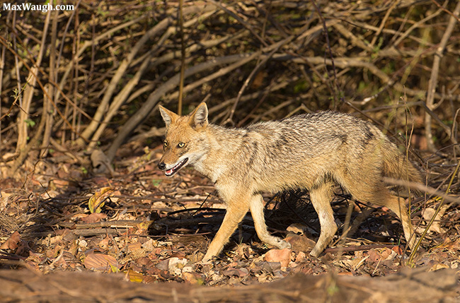 Golden Jackal from India