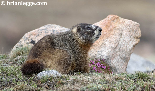 Yellow-bellied marmot by Brian Legge
