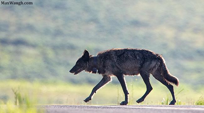 Wolf 926F
