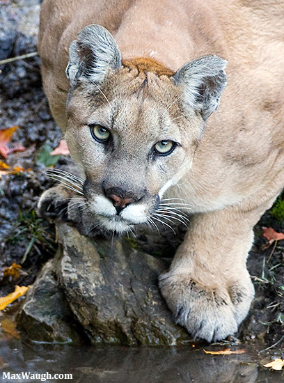Wild mountain lion