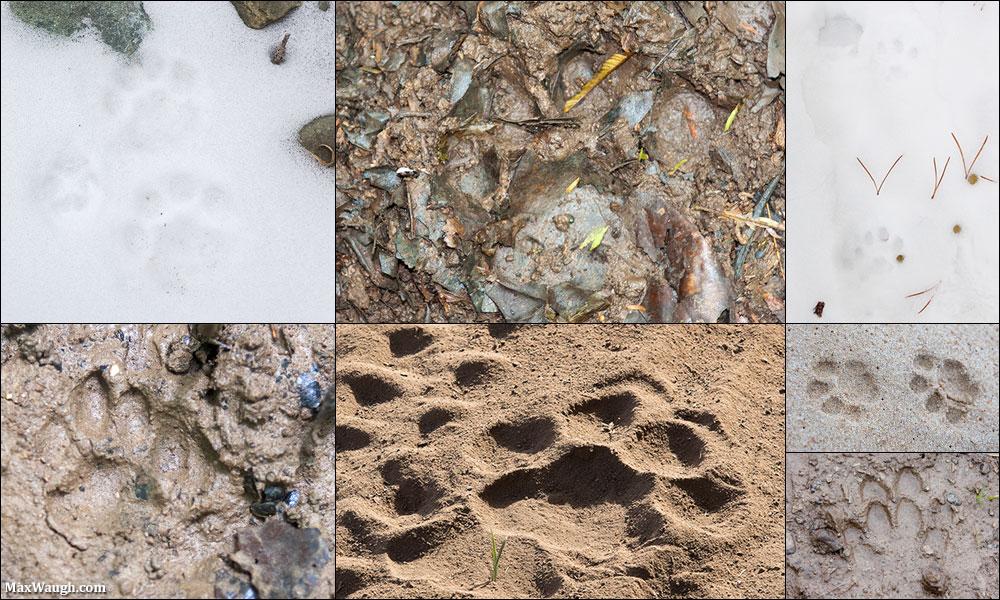 Wild cat tracks