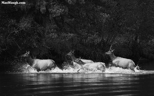 Elk splashing