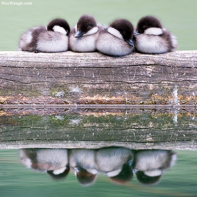 Sleeping goldeneye chicks